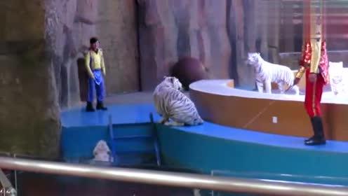 心疼!实拍杭州野生动物世界虐待动物 白虎不想表演被打落水