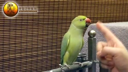 这只会犟嘴的鹦鹉,主人拿它都没办法!