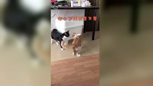萌猫的友谊:奶牛猫不小心踩了白猫尾巴,橘猫一声大吼维护白猫
