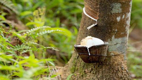 当地人常从这种树上取汁代替牛奶,你见过这种树吗?