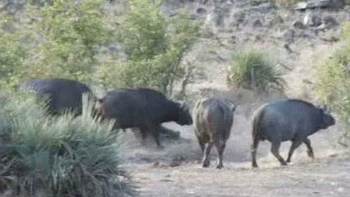落单小象被狮群咬翻在地 4头水牛组团吓跑狮群