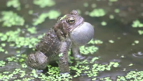 青蛙的小秘密,看完你就知道谁是跳远冠军啦!