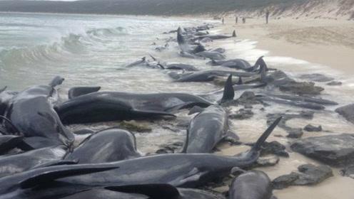 150头短鳍领航鲸搁浅西澳海滩 仅剩15头存活
