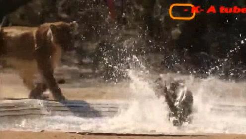百兽之王横行霸道,豹子看到有点慌