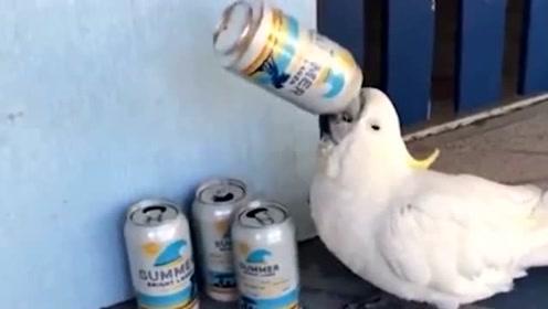 再来一罐!澳鹦鹉衔啤酒罐仰脖痛饮 统统一口闷