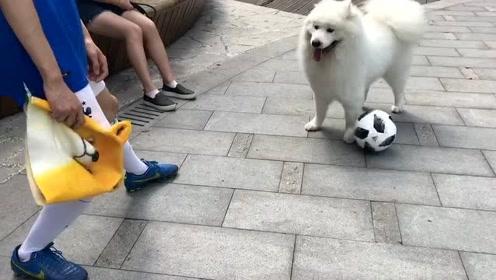 球技比拼:大狗子vs萨摩耶