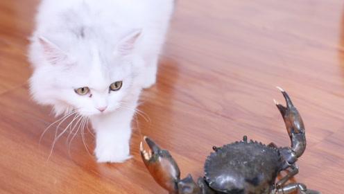 螃蟹君!有本喵在你还想这个家横着走?