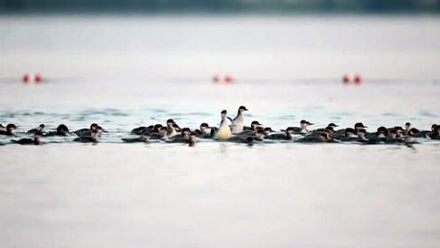 超级妈咪母鸭 独领56雏鸭游湖