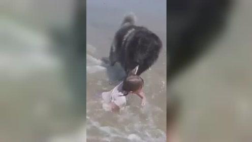 女孩险被海浪卷进海里 狗狗强行将其叼上岸