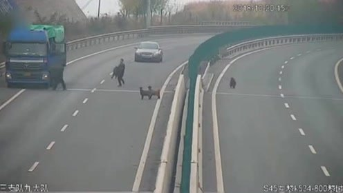 真的顺手牵羊!羊越护栏上高速 过路司机竟直接抱走