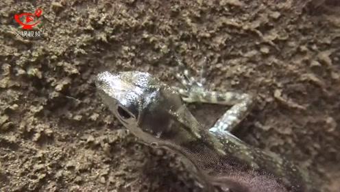过程太奇妙:科学家揭秘蜥蜴如何在水下呼吸