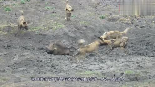 野狗捕猎疣猪,聪明的疣猪这样逃生,镜头拍下全过程