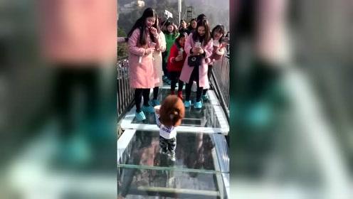 泰迪上3D玻璃桥上炸街了,看把路人给稀罕的