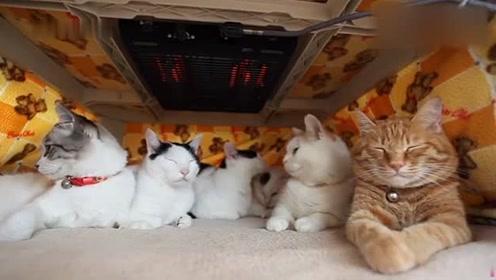 冬天,自从有了被炉后,家里的猫咪全都聚在一块,不吵不闹,真乖