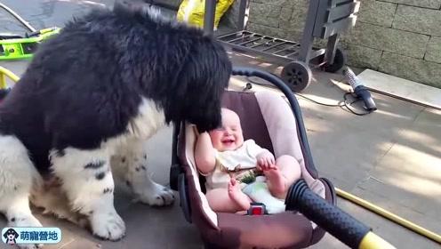 这些大狗狗对小主人真的是太有爱了!