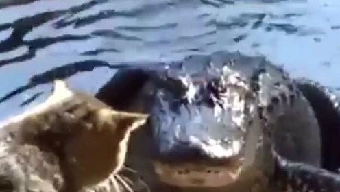 霸道猫搞笑集锦,猫霸道起来连鳄鱼都怕