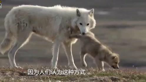 """狼不小心踩到捕兽夹,多亏""""好心人""""出手相助,镜头拍下全过程"""