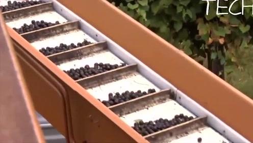 科技探秘:葡萄也能实现机械化采摘,这次终于大开眼界了