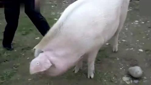 汶川地震的那只猪坚强,现在的近况如何了?