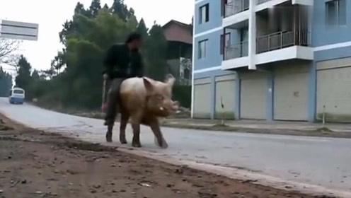 大爷山上见到一只猪崽,养10年不舍得吃,孙女回家瞬间看傻眼了