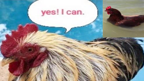 母鸡不会游泳?老外作死将母鸡扔进泳池,网友:这是我认识的鸡吗