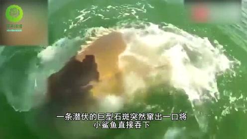 巨型石斑鱼,一口可以吞掉一米长的鲨鱼,镜头记录下全过程