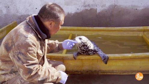 河北大叔救助斑海豹幼崽,模拟海洋环境饲养一个月,含泪放归大海