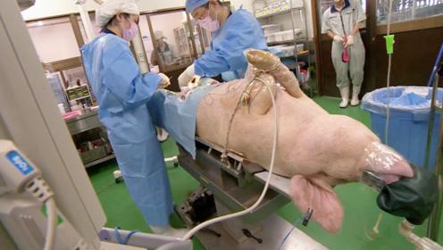 医学上器官移植为什么不找大猩猩,而用猪?看完整个人都不太好