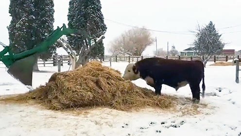 公牛正在吃草 主人开来叉车引得公牛撒泼耍赖