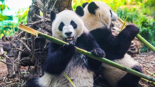 只会吃竹子的熊猫,究竟是靠什么上位成为中国国宝的呢?