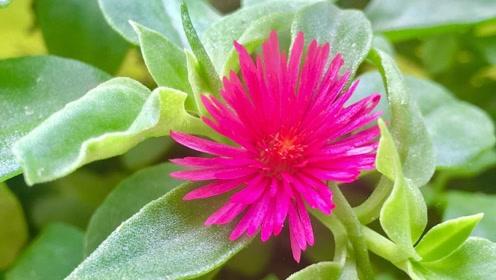 什么自制淘米、黄豆水肥效好?让花卉喝口蔬菜汤,叶子油绿爬3米