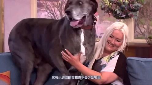 美女饲养丹麦犬,喂它每年需花20多万美元,女主人至今还是单身