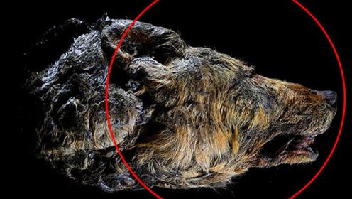 西伯利亚发现巨型狼头骨,已有4万年历史,头长是普通狼的2倍