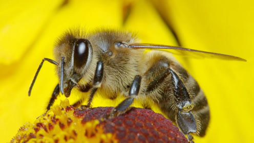 自取灭亡?蜜蜂正在迅速消失,严重影响各种农产品产量!
