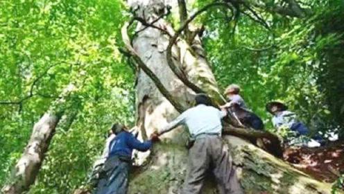 老人家中发现3棵金丝楠木,有人2.8亿购买,却被专家当面制止