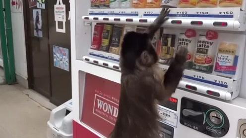 这真的是只猴子?跟主人要钱在贩卖机买饮料,投钱后让人笑喷
