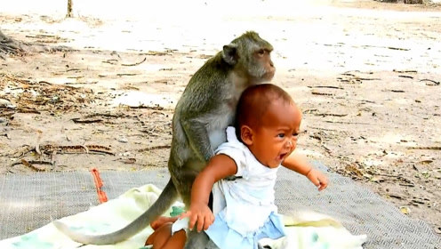 野生猴子把婴儿当做自己孩子,无微不至照顾,太暖了!