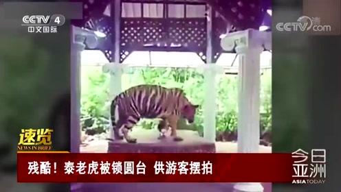 残酷!泰老虎被锁圆台 供游客摆拍