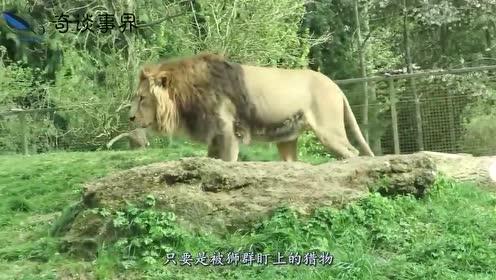 狮群捕食野牛,一头雌狮不幸被牛角插入前肢,它的命运会如何?