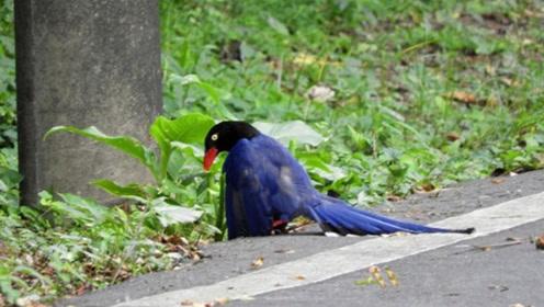 涨知识!台湾蓝鹊全身爬满蚂蚁狂抖 竟是用蚂蚁来替它沐浴