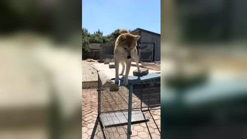 胆小的小柴犬,跑上笼子,却不敢下来,最后主人做出了这个动作