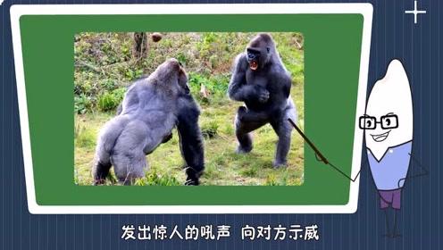 为什么大猩猩爱捶打自己的胸脯?