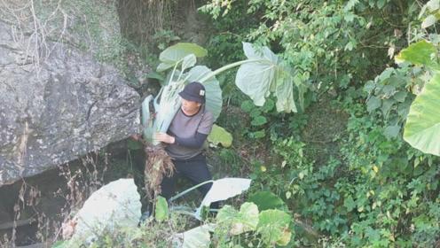 农村小伙上山寻找魔芋,为什么要整颗挖回家种植?