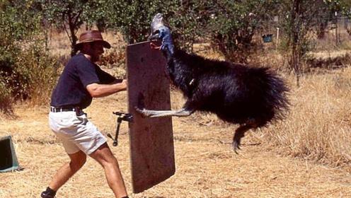 """世界上最危险的""""鸡"""",爪子比匕首还锋利,能轻易划开皮肉!"""