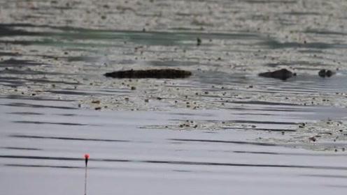 草塘野钓鲫鱼,鱼漂前方突然出现巨大鱼鳍,这什么鱼还敢靠近!