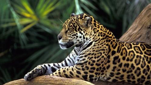 超级猎手似虎似豹称霸美洲,却因皮毛昂贵惨遭捕杀导致濒危灭绝