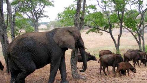 被双亲抛弃的小象,被野牛收养,最后为保护野牛群葬送狮口