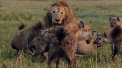 狮子单挑十只鬣狗,结果鬣狗认怂!看得大快人心