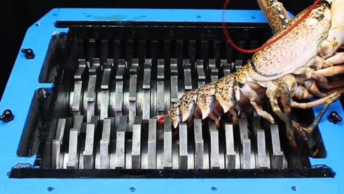 把龙虾放进粉碎机里,会擦出什么样的火花,龙虾:我做错了什么