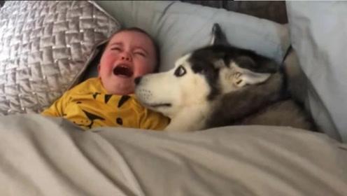 宝宝大哭不止,哈士奇竭尽所能安抚宝宝,画面太有爱了!